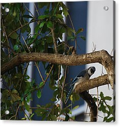 Acrylic Print featuring the photograph Blue Bird by Rob Hans