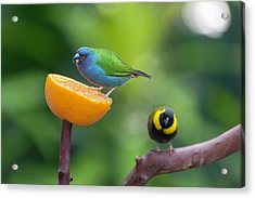 Blue-faced Parrotfinch Acrylic Print