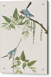 Blue Grey Flycatcher Acrylic Print