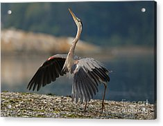 Blue Heron Dance Acrylic Print