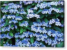 Acrylic Print featuring the photograph Miksang 12 Blue Hydrangea by Theresa Tahara