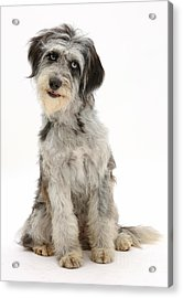 Blue Merle Cadoodle Acrylic Print