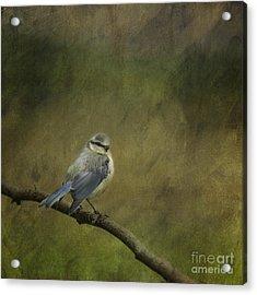 Blue Tit Acrylic Print by Liz Leyden
