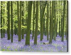 Bluebell Wood Acrylic Print by Liz Pinchen