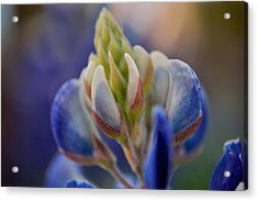 Bluebonnet Acrylic Print