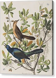Boat-tailed Grackle Acrylic Print by John James Audubon