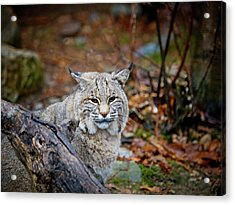 Bobcat Acrylic Print by Jim DeLillo