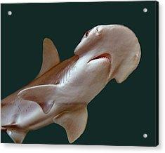 Bonnethead Shark Acrylic Print