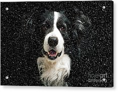 Border Collie Acrylic Print by Nichola Denny