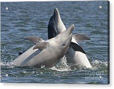 Bottlenose Dolphins  - Scotland  #15 Acrylic Print