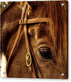 Bridled Acrylic Print by David Patterson