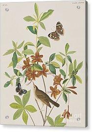 Brown Headed Worm Eating Warbler Acrylic Print by John James Audubon