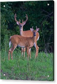 Acrylic Print featuring the photograph Buck Father And Son by William Jobes