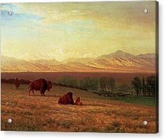 Buffalo On The Plains Acrylic Print