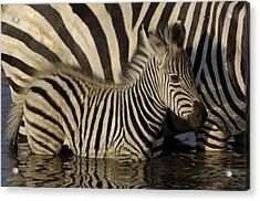 Acrylic Print featuring the photograph Burchells Zebra Equus Burchellii Foal by Pete Oxford