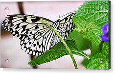 Paper Kite Butterfly No. 1 Acrylic Print by Sandy Taylor