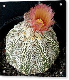 Cactus Flower 4 Acrylic Print