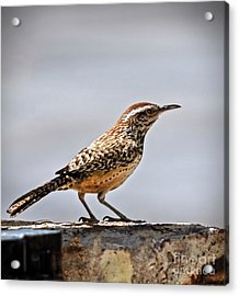 Acrylic Print featuring the photograph Cactus Wren by Robert Bales
