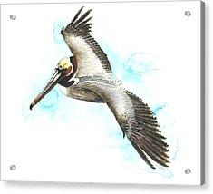 California Brown Pelican Acrylic Print
