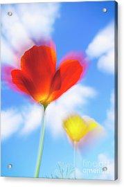California Poppies Acrylic Print by Veikko Suikkanen