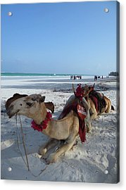 Camel On Beach Kenya Wedding Acrylic Print