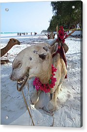 Camel On Beach Kenya Wedding3 Acrylic Print
