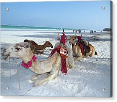 Camel On Beach Kenya Wedding4 Acrylic Print