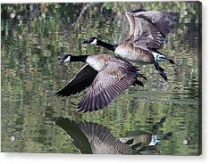Canada Geese Acrylic Print