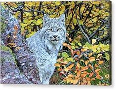 Canada Lynx Acrylic Print by Jack Bell