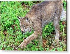 Canada Lynx Lynx Canadensis Acrylic Print by Louise Heusinkveld