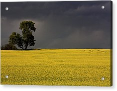 Canola Storm Acrylic Print