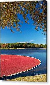 Cape Cod Cranberry Bog Acrylic Print by Matt Suess