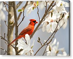 Acrylic Print featuring the photograph Cardinal In Magnolia by Angel Cher