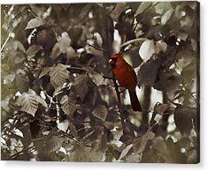 Very Red Cardinal Acrylic Print by JAMART Photography
