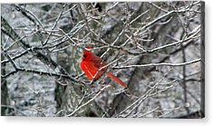 Cardinal On Icy Branches Acrylic Print
