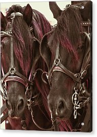 Carriage Ponies  Acrylic Print by Dressage Design