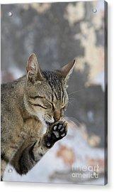 Cat Grooming In Greece Acrylic Print by Jean-Louis Klein & Marie-Luce Hubert