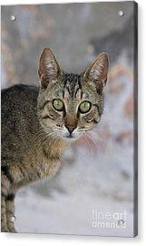 Cat Portrait, Greece Acrylic Print by Jean-Louis Klein & Marie-Luce Hubert