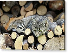 Acrylic Print featuring the photograph Cat Resting On A Heap Of Logs by Michal Boubin