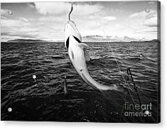 catching cod seafishing on a charter boat Reykjavik iceland Acrylic Print