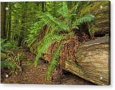 Cathedral Grove Acrylic Print