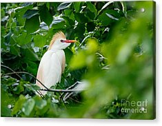 Cattle Egret At Rest Acrylic Print