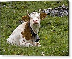 Cattle, Switzerland Acrylic Print by Bob Gibbons