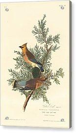 Cedar Bird Acrylic Print by Rob Dreyer