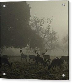 Fallow Deer. Acrylic Print