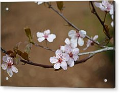Acrylic Print featuring the photograph Cherry Blossoms by Linda Geiger