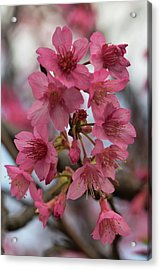 Acrylic Print featuring the photograph Cherry Blossoms by Pamela Walton