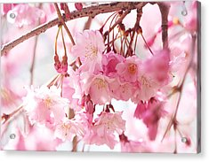 Cherry Blossoms Acrylic Print by Trina Ansel