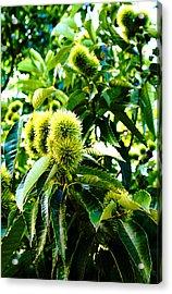 Chestnut Tree Acrylic Print by Michael C Crane
