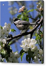 Chickadee Among The Blossoms Acrylic Print